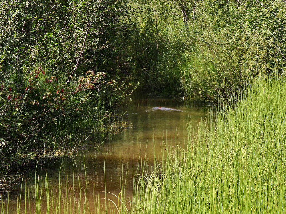 castor dans le marais du chou puant à revelstoke