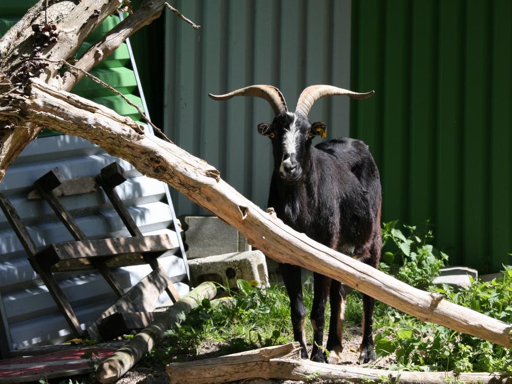 chèvre aux abords de la forêt de Rambouillet