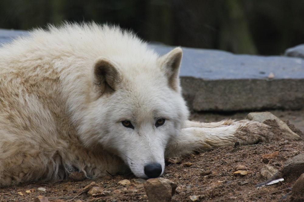 loup blanc de l'Artique au zoo de la flèche