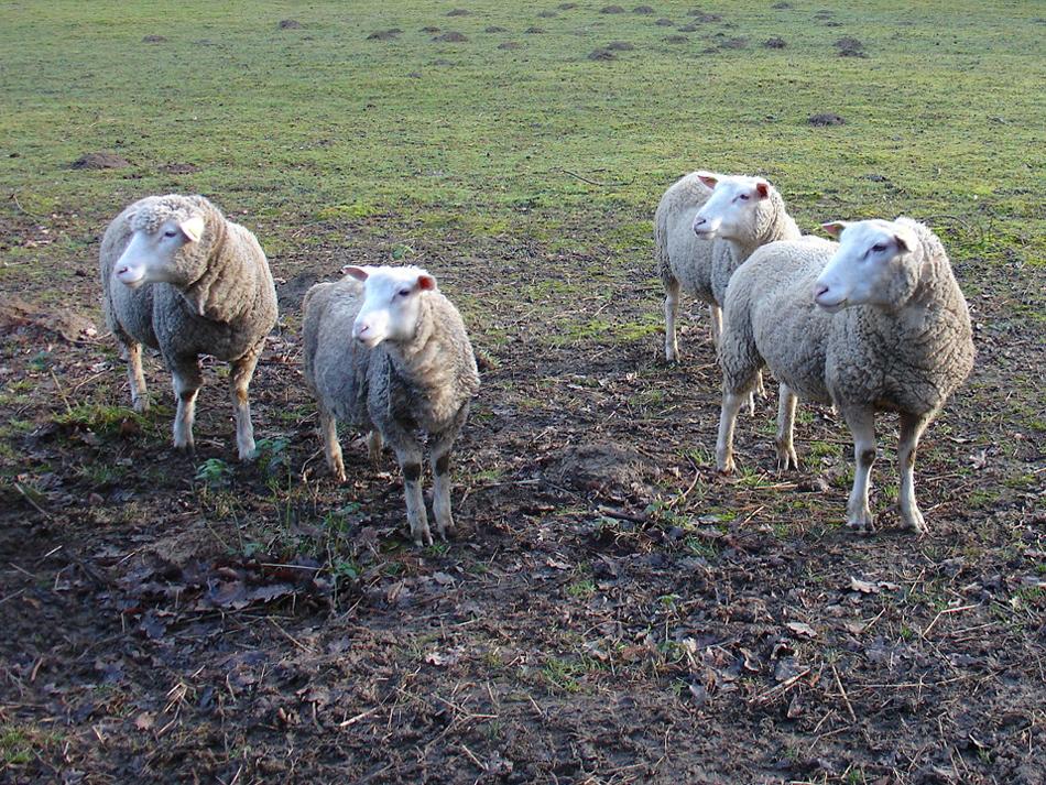 moutons à la Vallée aux loups