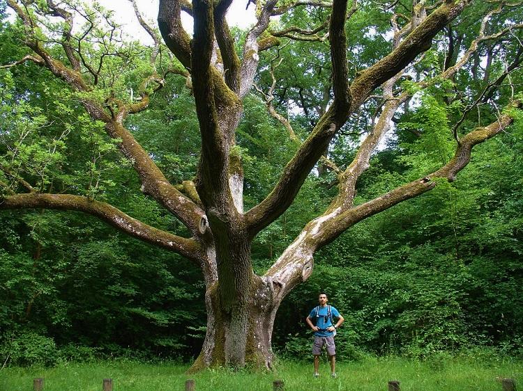 Chêne Mademoiselle dans la forêt de Rosny