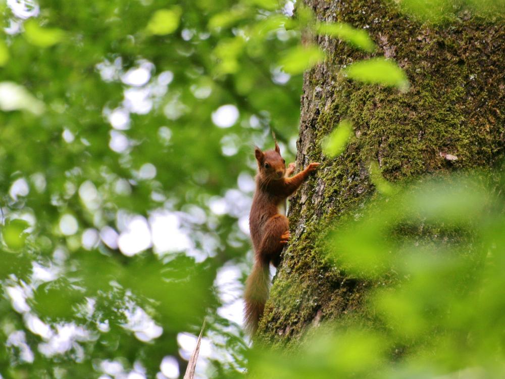 écureuil roux à l'étang de la grenouillère à Rambouillet