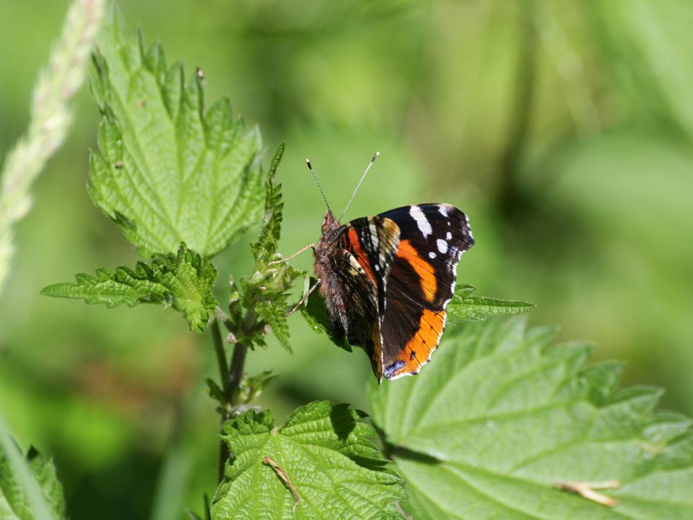 papillon à l'étang d'or de la forêt de Rambouillet