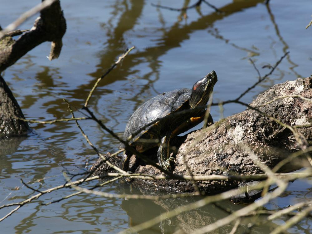 tortue à l'étang d'or de la forêt de Rambouillet