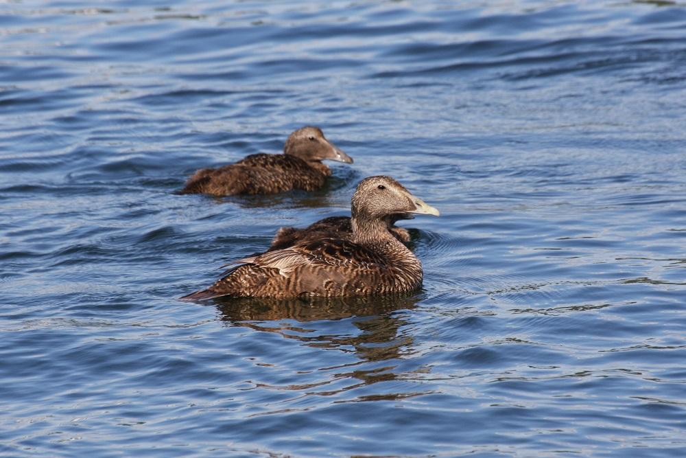 femelles eider à duvet île de gressholmen à oslo
